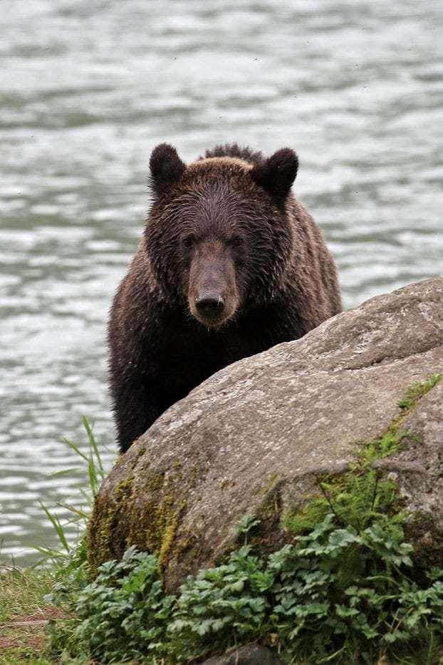 Bear in Haines Alaska