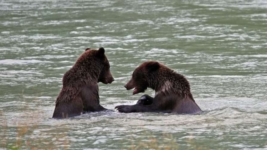 Bears playing in the River Haines Alaska