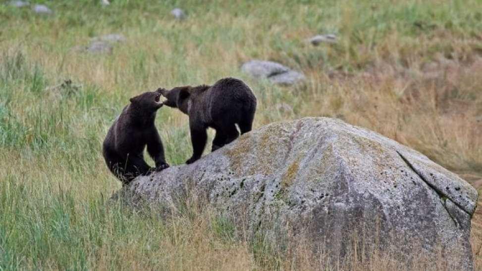 bears on a rock Haines Alaska
