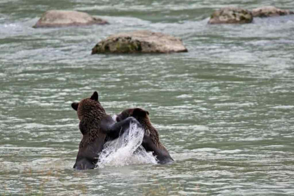 bears playing in the water in Haines Alaska