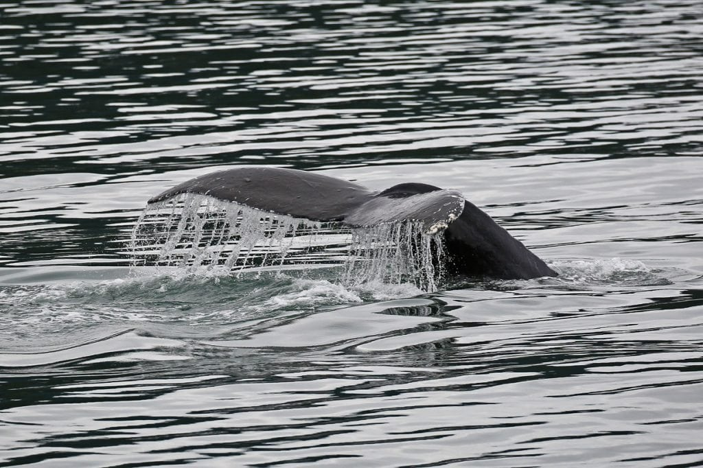 Humpback Whale Tail on Tracy Arm Fjord Excursion