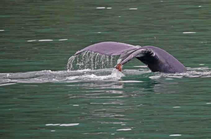 Whale Watching in Juneau on a cruise excursion