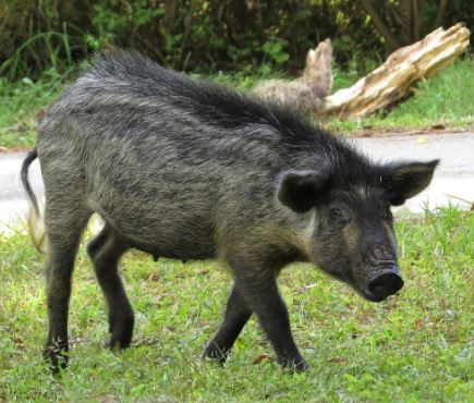 Florida Feral Hog Hunting Polk Pasco County