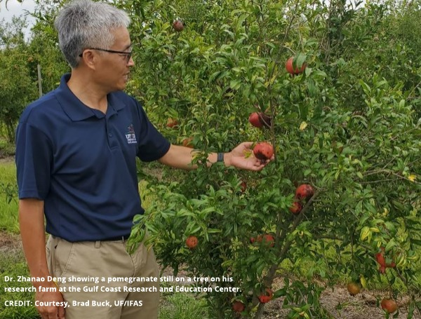 Dr. Zhanao Deng showing a pomegranate still on a tree on his research farm at the Gulf Coast Research and Education Center. CREDIT: Courtesy, Brad Buck, UF/IFAS
