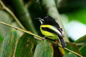Black-backed-Tody-Flycatcher-(5).jpg-pagina-web1-min