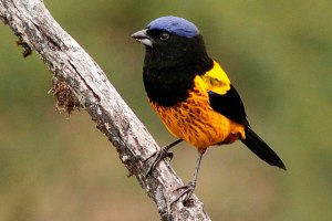Golden-backed-Mountain-tanager-pagina-web50-min6050