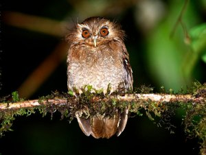 long-Whiskered-Owlet-(-Xenoglaux-loweryi-)6050