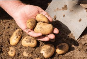 tanahoy.com potatoes