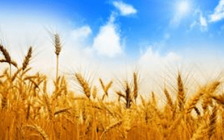 tanahoy.com wheat