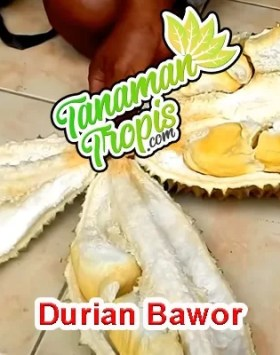 jual bibit durian bawor unggul