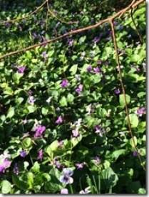 springviolets2