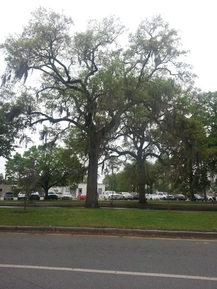 savannahtrees