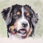 pastel portrait of Bernese Mountain Dog painted from client photo on green background