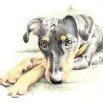 pet portrait in colored pencil of a German Pinscher on the sofa