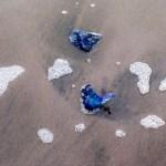 Blauwe kwallen