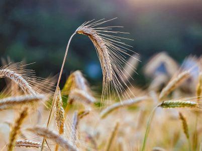 All'alba dei cereali
