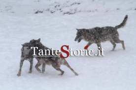 I lupi dell'area protetta di Civitella Alfedena giocano nella neve