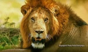 Voyage Tanzanie. Le lion, roi des animaux Serengeti Tanzanie Circuit safari esprit tanzanie