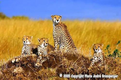 Guépards Safari Esprit tanzanie voyage Zanzibar. Serengeti