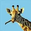Girafe safari en tanzanie