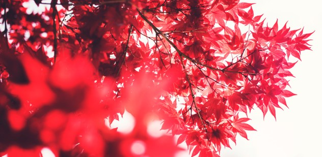 Red_Leaves_Sun_1500x734