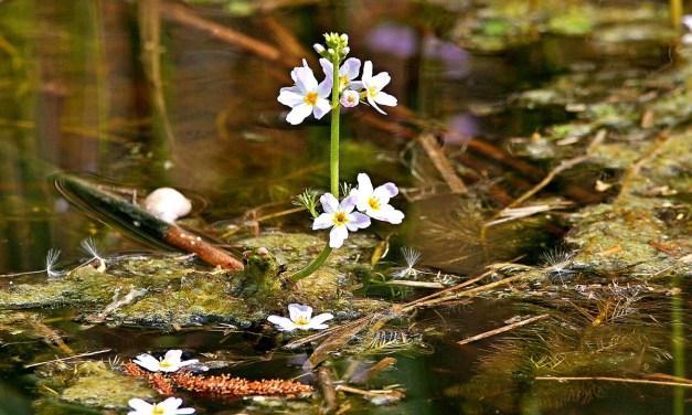 Bachblüten stellen sich vor – Heute: Water Violet