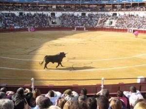 El toro bravo chasing banderilleros