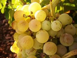 vitigno-grillo