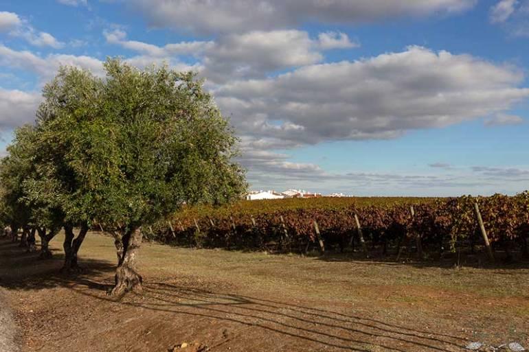 Oliveira com vinhas