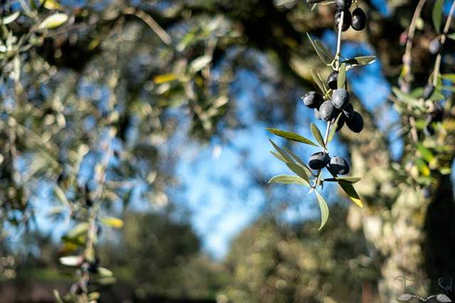 Azeitona madura na árvore