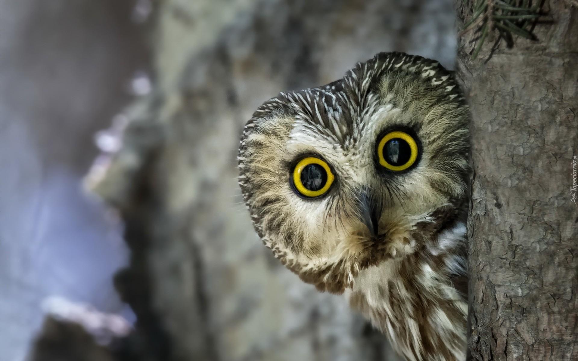 Wielkie Oczy Puchacza