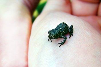 Ein Frosch, liegt doch auf der Hand