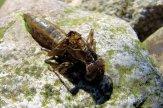 Die verlassene Hülle einer Libellenlarve