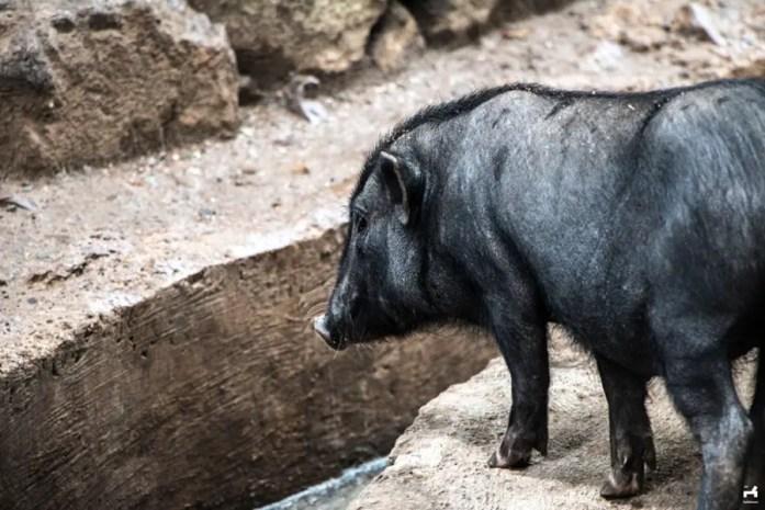 Black pigs in Kalinga