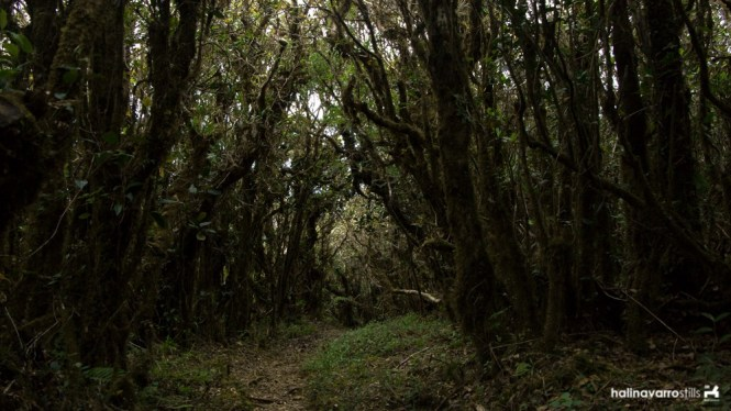 Mossy forest in Mount Pulag