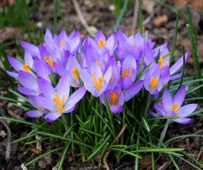 5 Flori Care Ne Fac Grădina Mai Frumoasă Primăvară țărăncuța Urbană