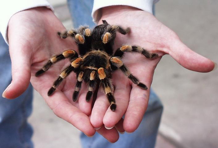 A Mexican Red Kneed Tarantula