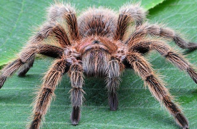 animals-Tarantula-slide2-web