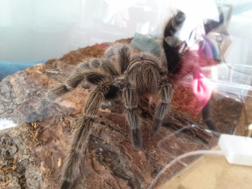 chilean rose hair waving