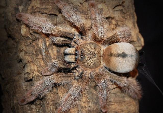 tarantulas bristol pulcher
