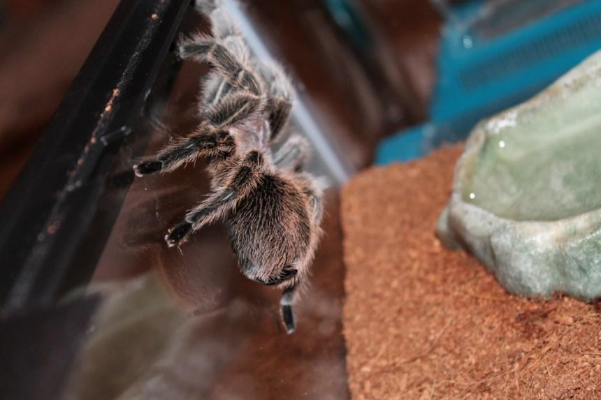 Spidey rose hair tarantula