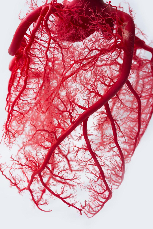 heart vessels