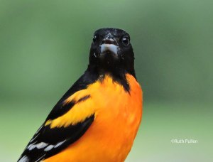 Baltimore Oriole, photo by Ruth Pullen