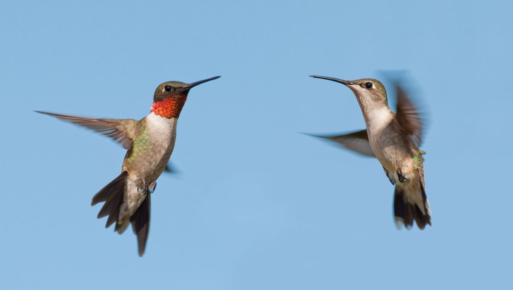 Male and female (L) Ruby-throated Hummingbirds