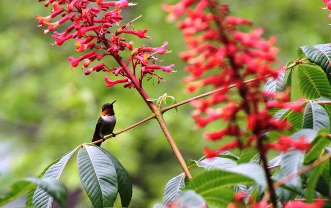 Hummingbird sitting on red buckeye in our native plant garden