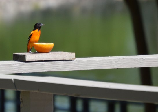 Baltimore Oriole at Tara Lodge. Photo by P. Jacobs
