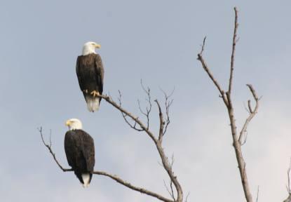 Bald Eagles at Tara Wildlife
