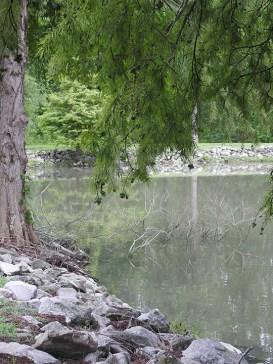 Cypress tree growing at the edge of the lake behind Tara Lodge