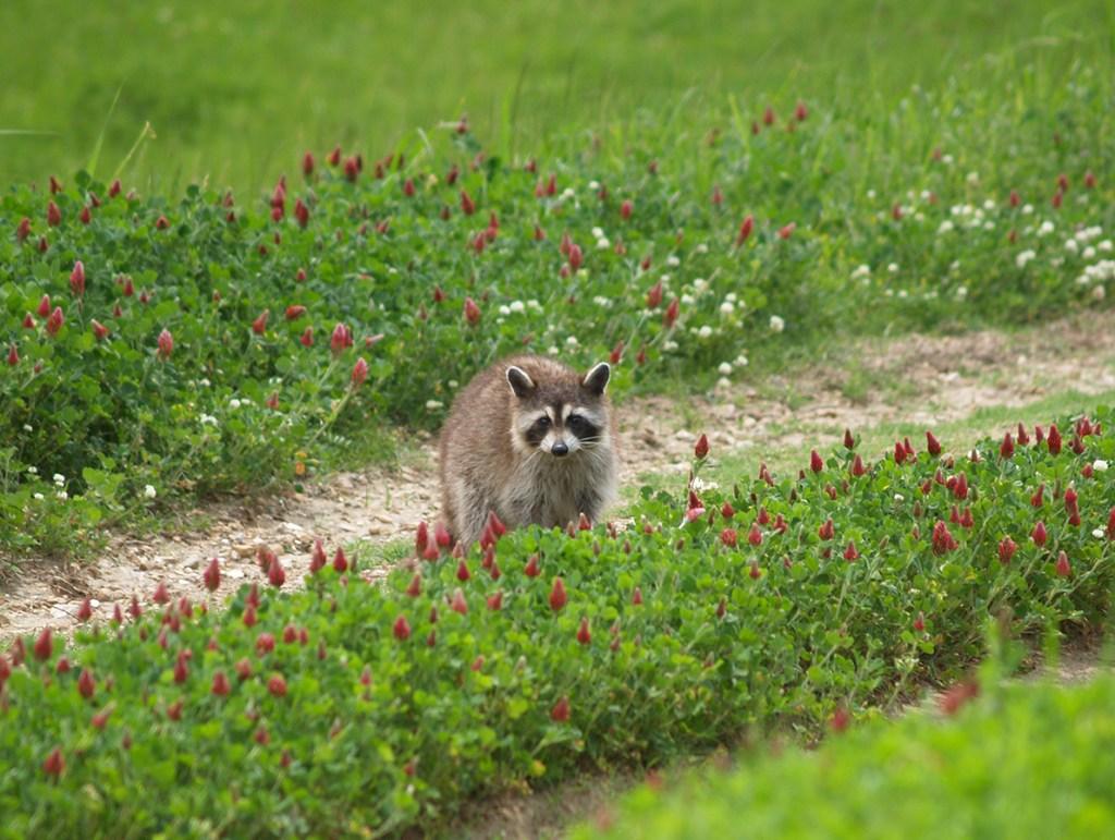 Raccoon at Tara