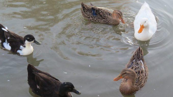 Retour des canards sous haute surveillance dans les Hautes Pyrénées